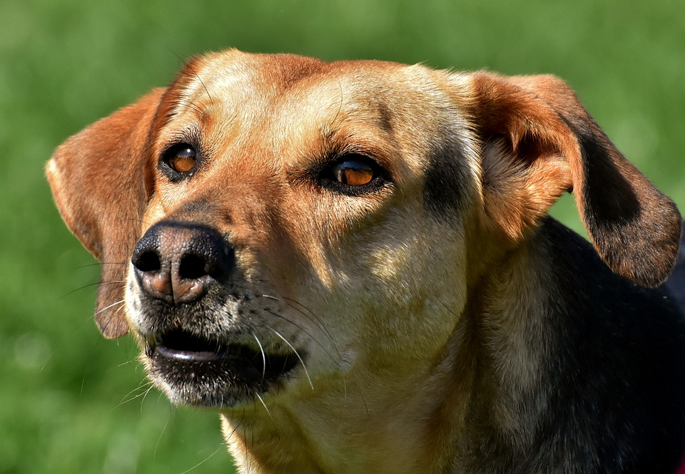 Dog, Animal, Pet, Dear, Eyes, Brown, Good Aiderbichl