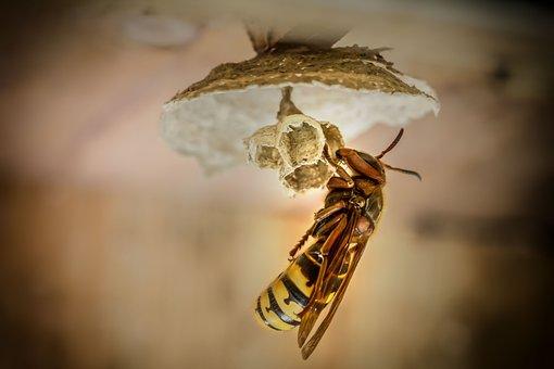Hornets, Hornet, Hornets Queen