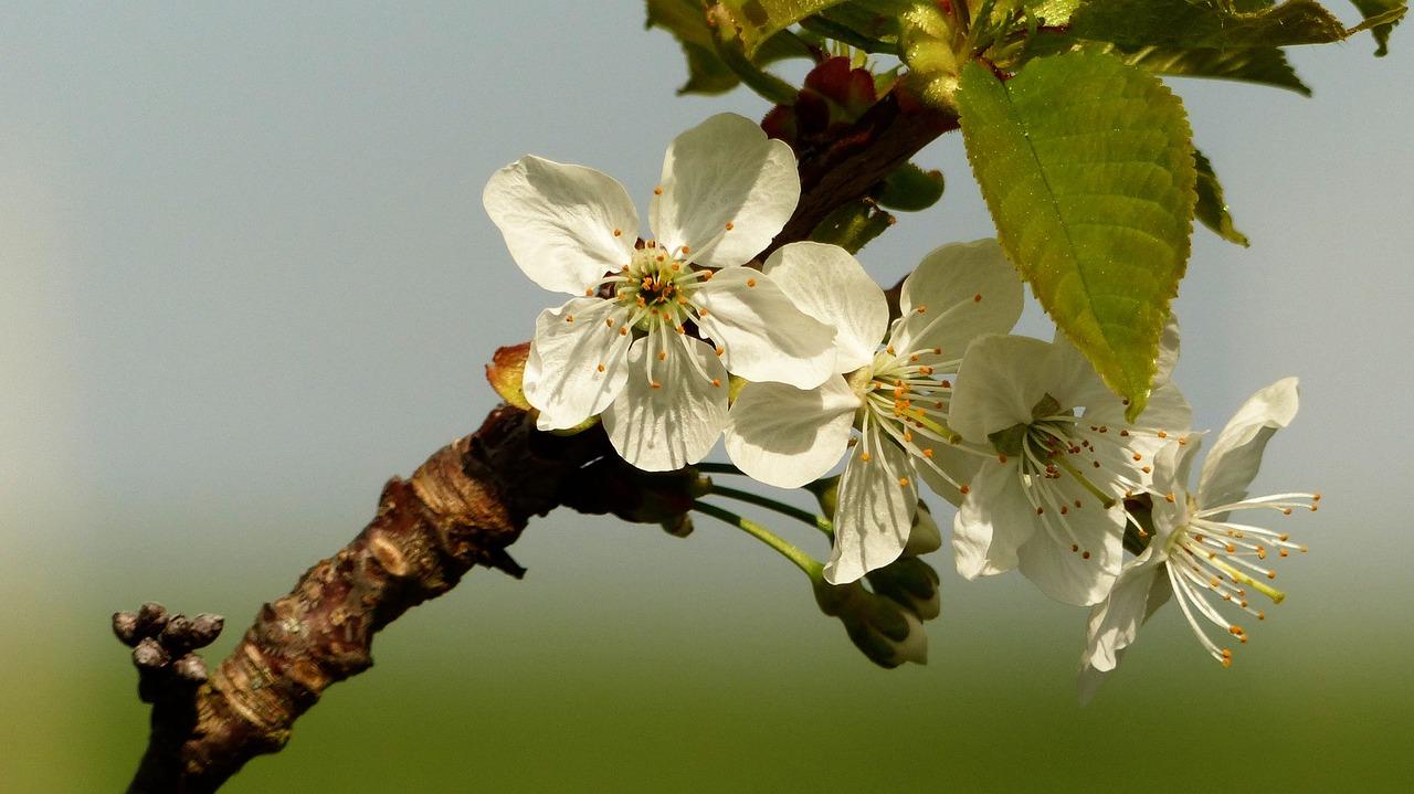 расцветают вишни анимация картинки шторы золотистым обоям