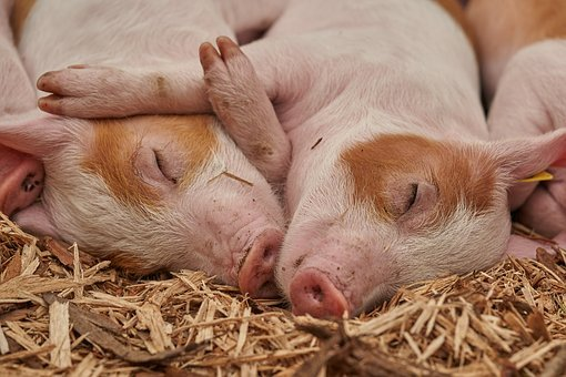 Piglet, Sleep, Pig, Farm, Relaxed
