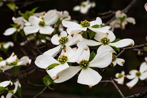 Dogwood images pixabay download free pictures dogwood flower blossom spring mightylinksfo