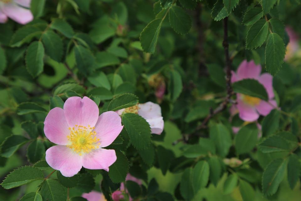 Rose Musquee Fleur Nature Photo Gratuite Sur Pixabay