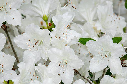 Azalea, Palestrina Azalea, Flowers