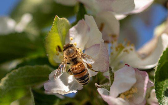 Bee, Honey Bee, Insect, Collect Pollen