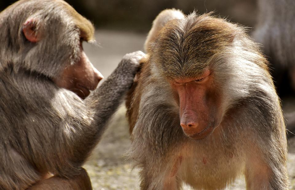Coat Baboons, Ape, Primates, Animals, Zoo, Zoo Animal