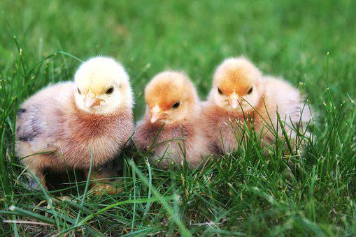 Chicks, Chicken, Hatched, Hatch, Small