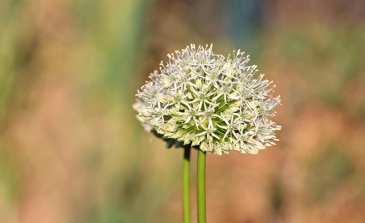 можете соцветие репчатого лука фото помощью уникальной