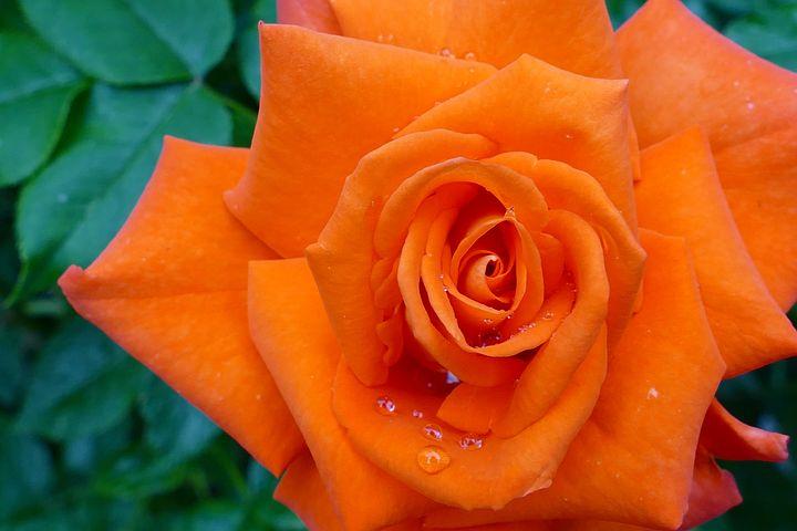 приготовить роза с палкой картинка оранжевая стали покрытием прочен