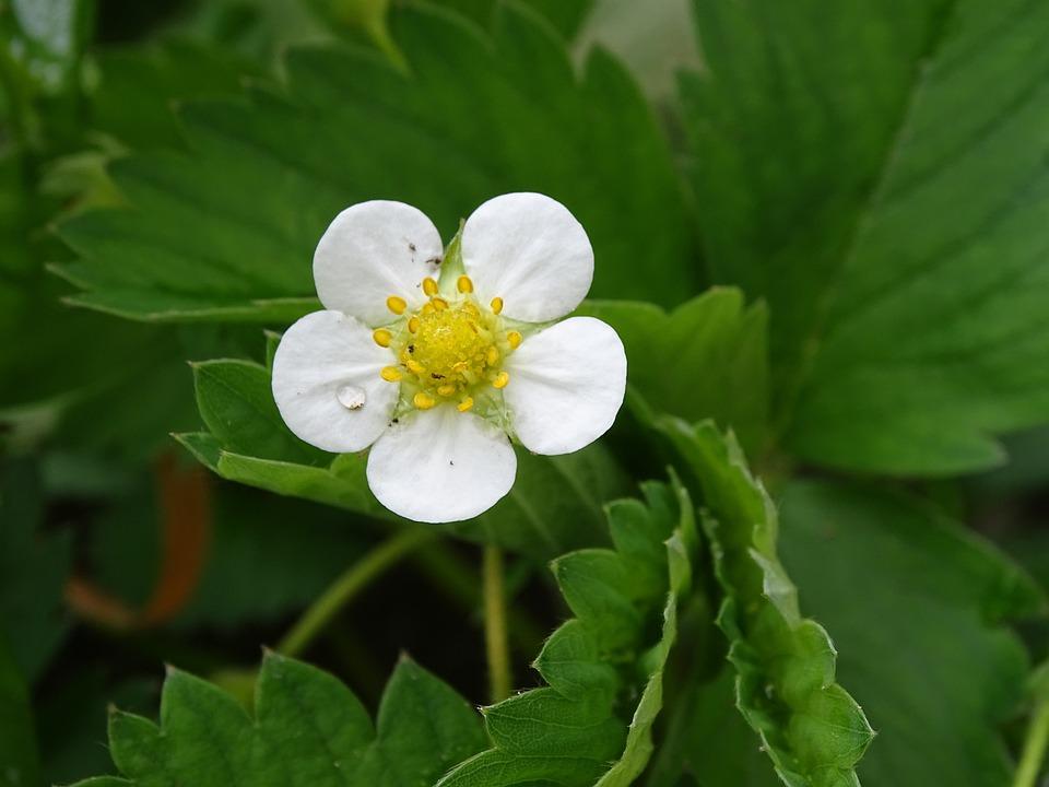 Fleur De Fraisier Blanche Photo Gratuite Sur Pixabay
