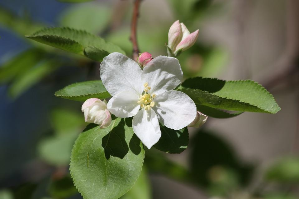 Unduh 560+ Gambar Bunga Pohon Apel Gratis Terbaik