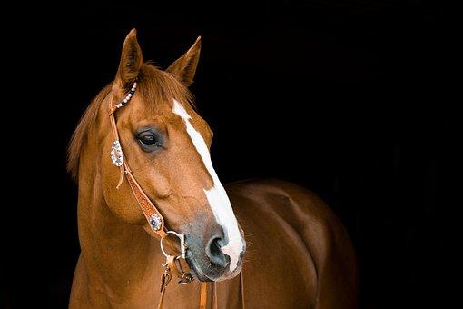 Quarter Horse, Portrait, Western, Horse