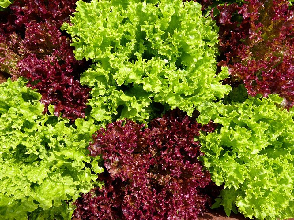 Ilustrasi daun selada