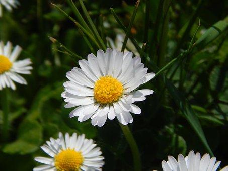 Daisy, Flower, Keywords Fotomontáž