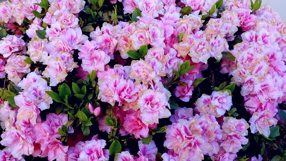 Lovely pink pretty free photo on pixabay lovely pink pretty flowers background desktop mightylinksfo