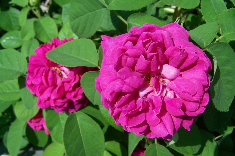 Rose, Flower Garden