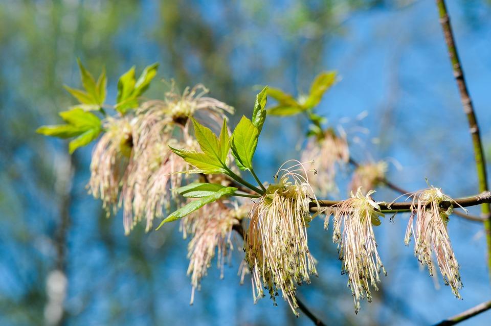 дерево с длинными сережками фото считают природу священной