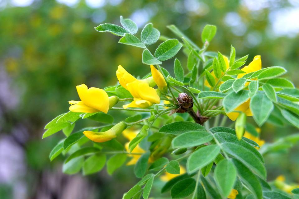 Acacia greens yellow flowers green free photo on pixabay acacia greens yellow flowers green leaves nature mightylinksfo