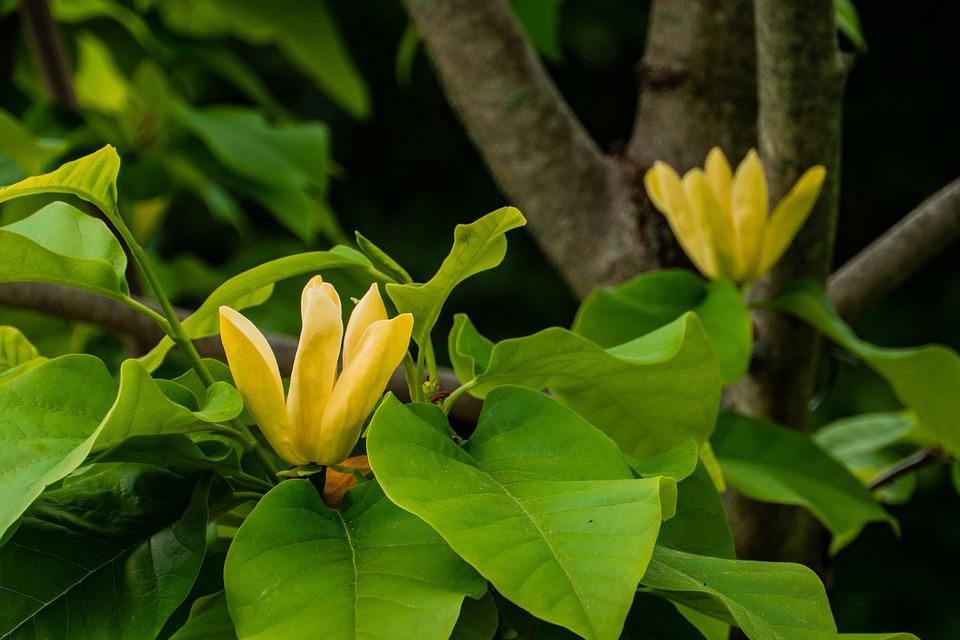 Yellow Magnolia Flower Blossom Free Photo On Pixabay