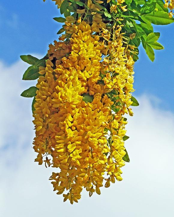 Cytise Arbre Fleur Jaune Photo Gratuite Sur Pixabay