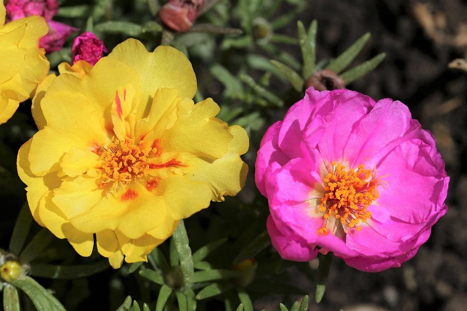 Moss Rose, Portulaca Grandiflora, Yellow, Pink, Macro
