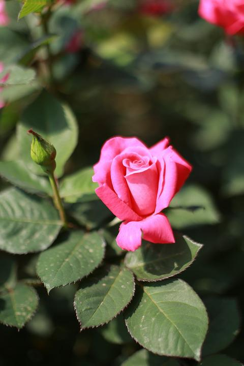 Rose Rosas De Color Rosa Flores - Foto gratis en Pixabay