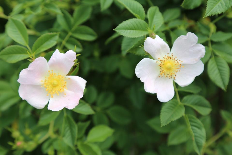 Fleur Rose Musquee Plante Photo Gratuite Sur Pixabay