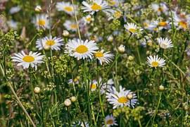 Daisies, Flowers, Bloom, Nature