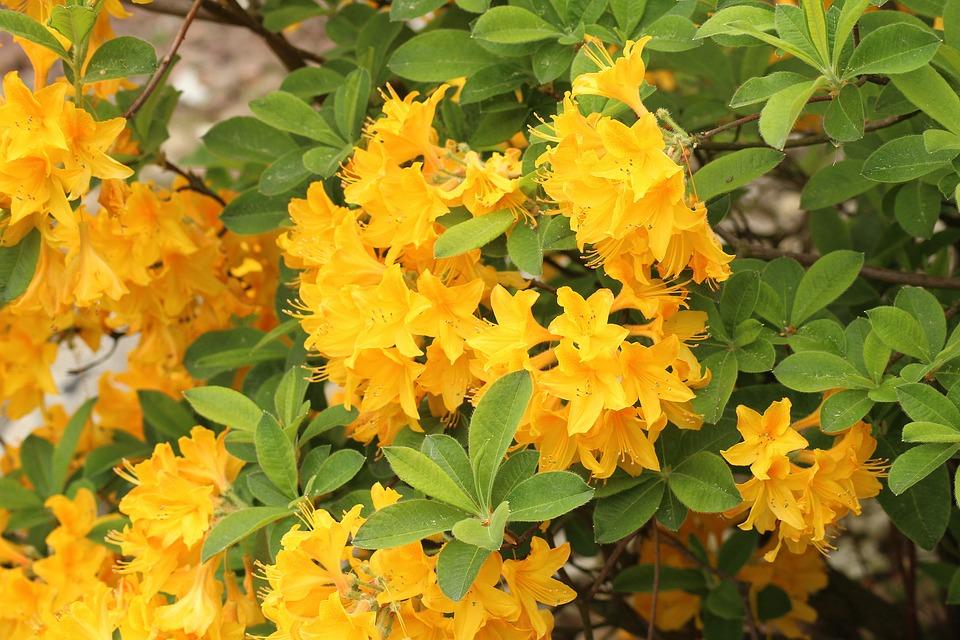 Fiori Gialli Ornamentali.Azalea Rododendro Arbusto Foto Gratis Su Pixabay