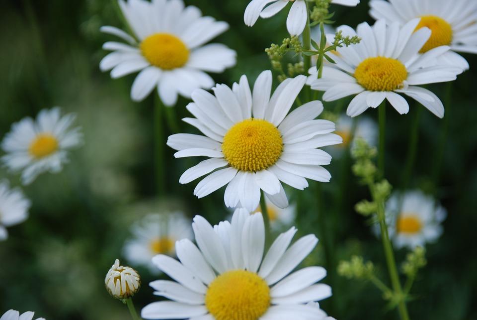 Chamomile Flower Summer Yellow Free Photo On Pixabay