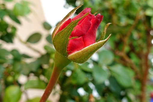 Rose, Red, Bud, Blossom, Bloom, Flower Know more about the days leading up to Valentine's day like Rose Day, Chocolate day and Anti-Valentine's day like break up day, slap day and more.