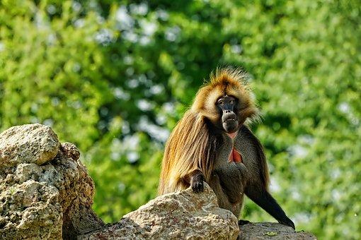 Säugetier, Primate, Affe, Zoo, Exotisch