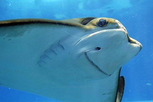 Stingray, Rays, Underwater