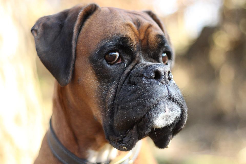 boxer dog free photo on pixabay