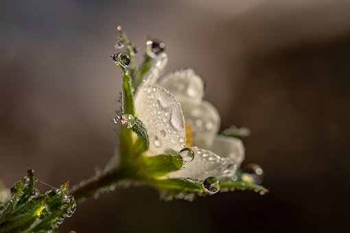 Raindrop, Dewdrop, Strawberry Flower