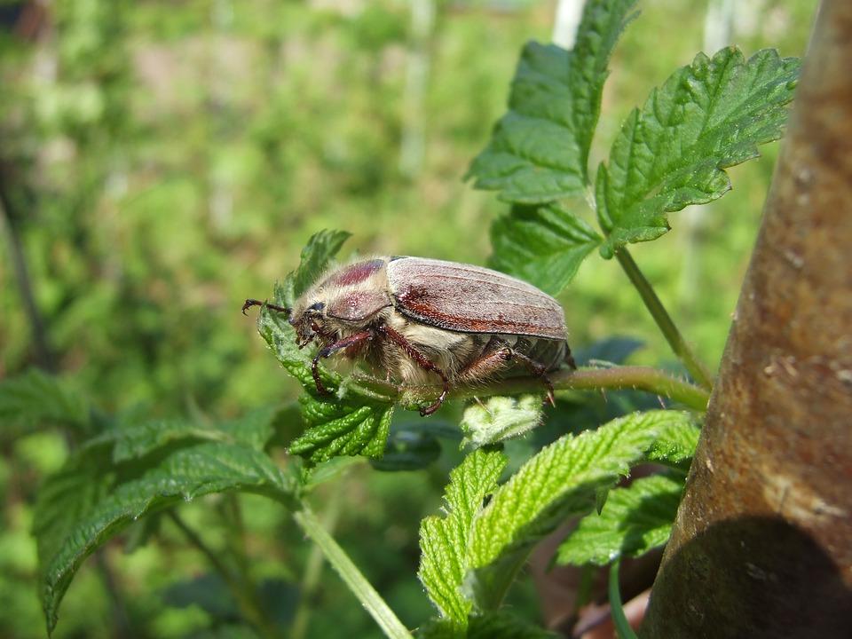 bug tissi