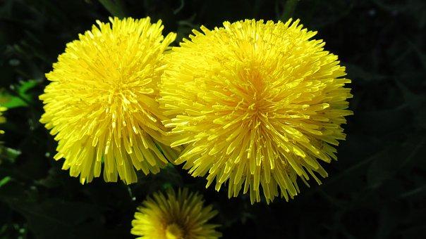 Květina, Pampeliška, Žlutá, Příroda