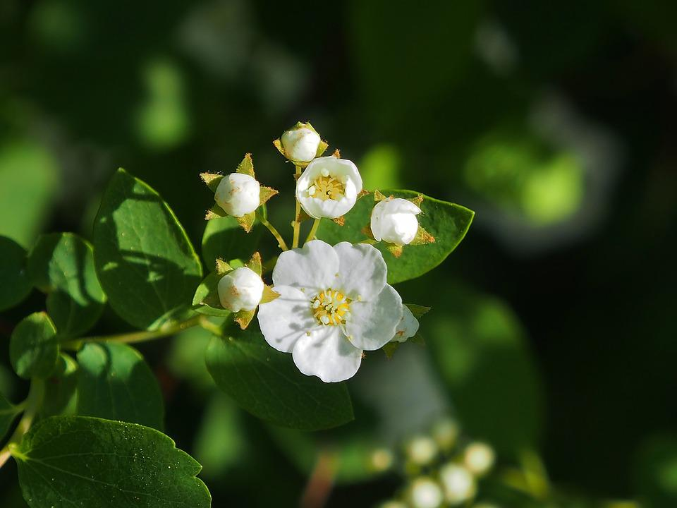 Spars shrub white small flowers free photo on pixabay spars shrub white small flowers white flowers mightylinksfo