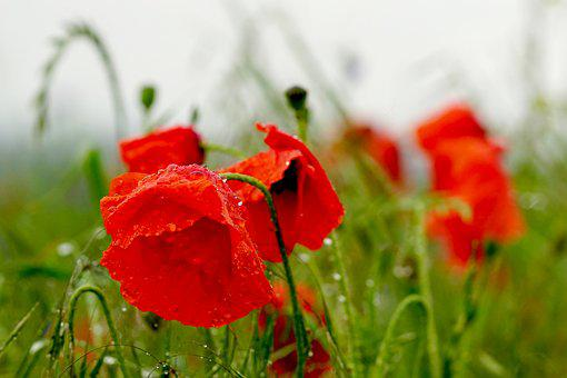 Poppies, Rain, Nature, Klatschmohn