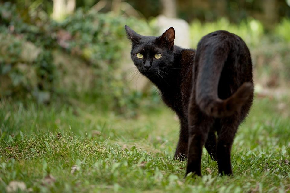 Gatito, Gato, Gato Negro, Gato Doméstico, Mascotas