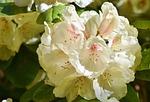 różanecznik, pąki różaneczników, kwiat rododendron
