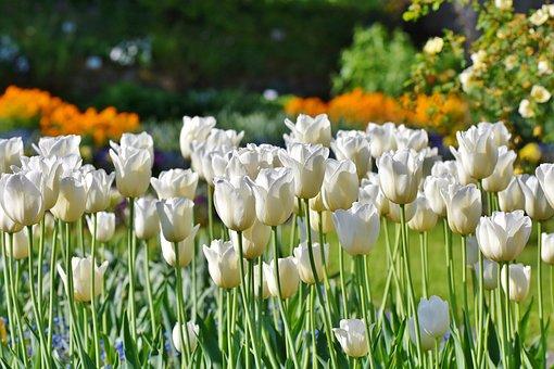 Tulipes, Champ De Tulipes, Tulpenbluete