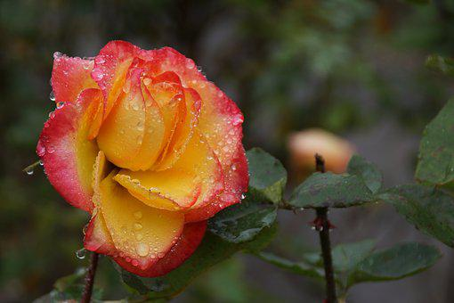 Red Yellow Rose Images Pixabay Download Free Pictures