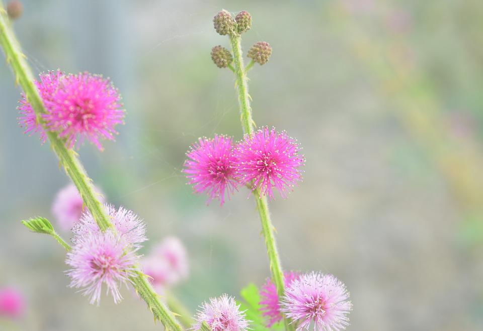 Mimosa Pink Flower Free Photo On Pixabay