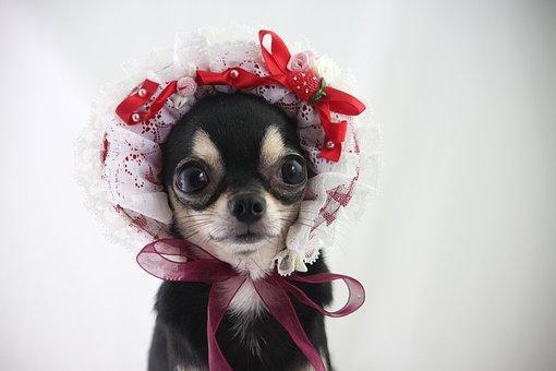 Pies, Chihuahua, Małe Psy, Bezpłatne Dog