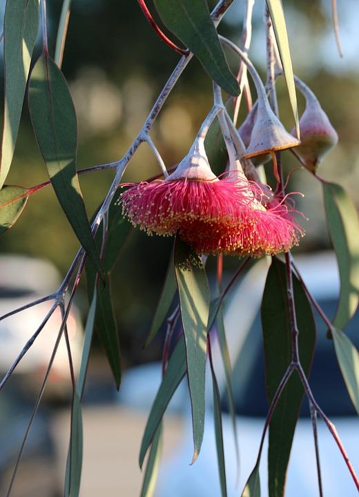 Eucalyptus, Eucalyptus Leaves, Eucalyptus Blossom, Leaf