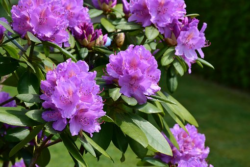 Rhododendron, Blossom, Bloom, Spring