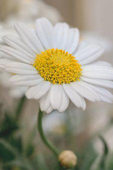 White flowers images pixabay download free pictures marguerite flower white yellow mightylinksfo Images