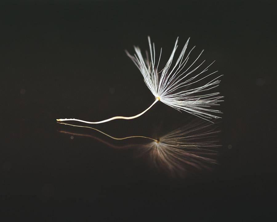 Samen, Löwenzahn, Pusteblume, Schirmchen, Nahaufnahme