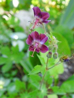 Kakost Hnedočervený, Geranium Phaeum L