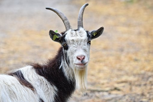 free download i pet goat 2